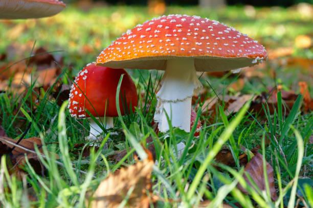Red and white fungi stock photo