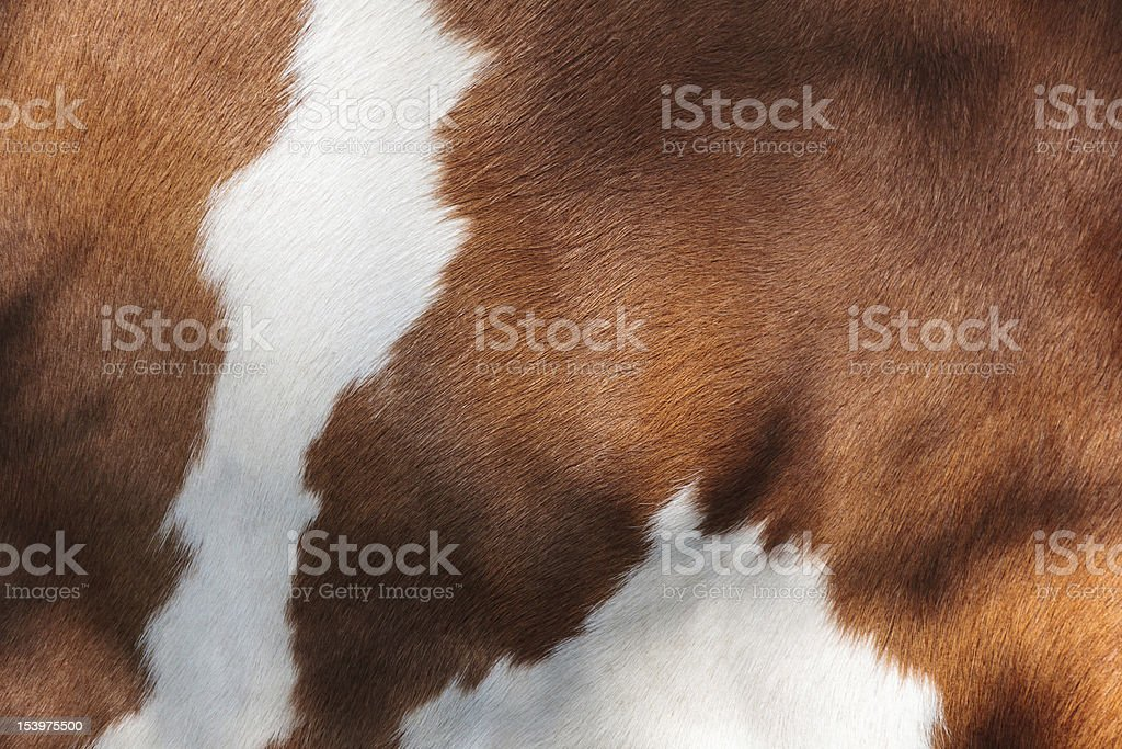 Red and white fur of a cow stock photo