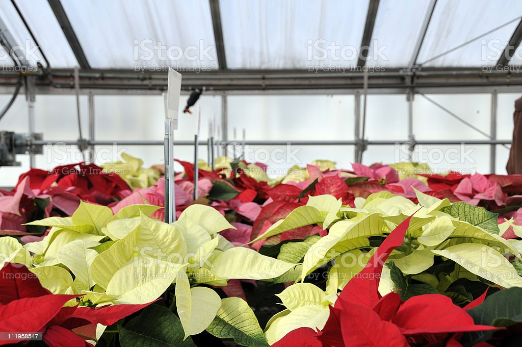 Red and White Greenhouse Poinsettias stock photo