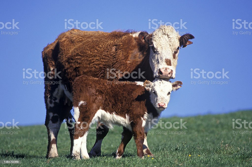 A red and white Hereford cow and her calf stock photo