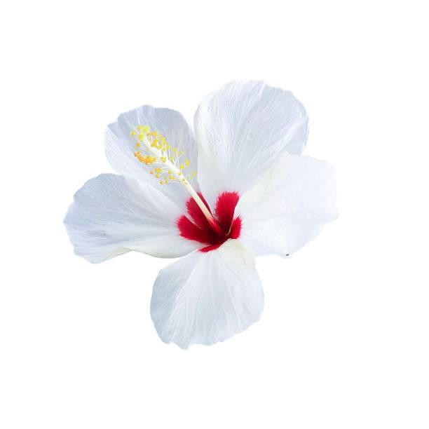 röda och vita hibiscus blomma - carpel bildbanksfoton och bilder