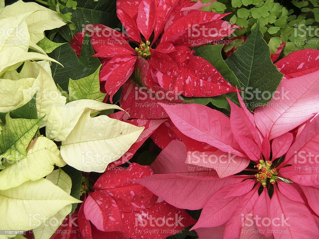 Red and white poinsettia flowers royalty-free stock photo