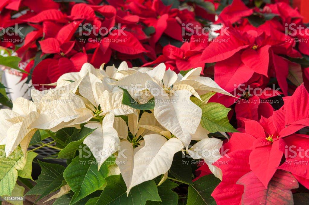Red and White Poinsettias – Foto