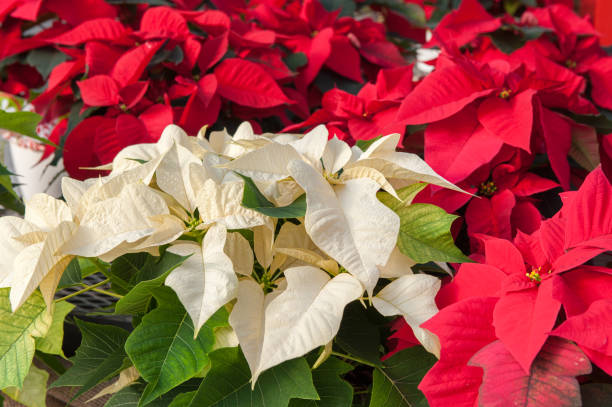 Red and White Poinsettias – Foto