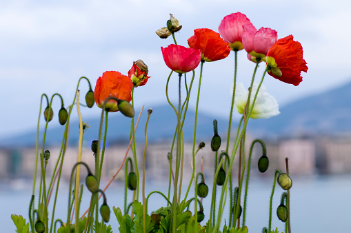 Red and White Poppies in Geneve, Switzerland