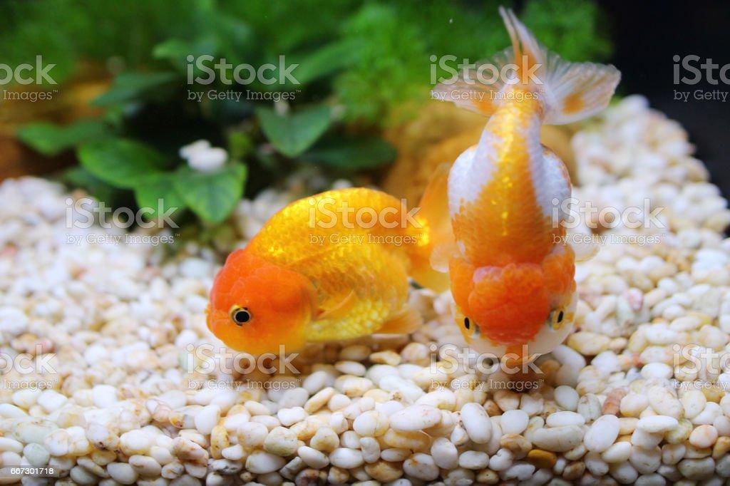 紅色和白色的蘭壽黃金魚圖像檔