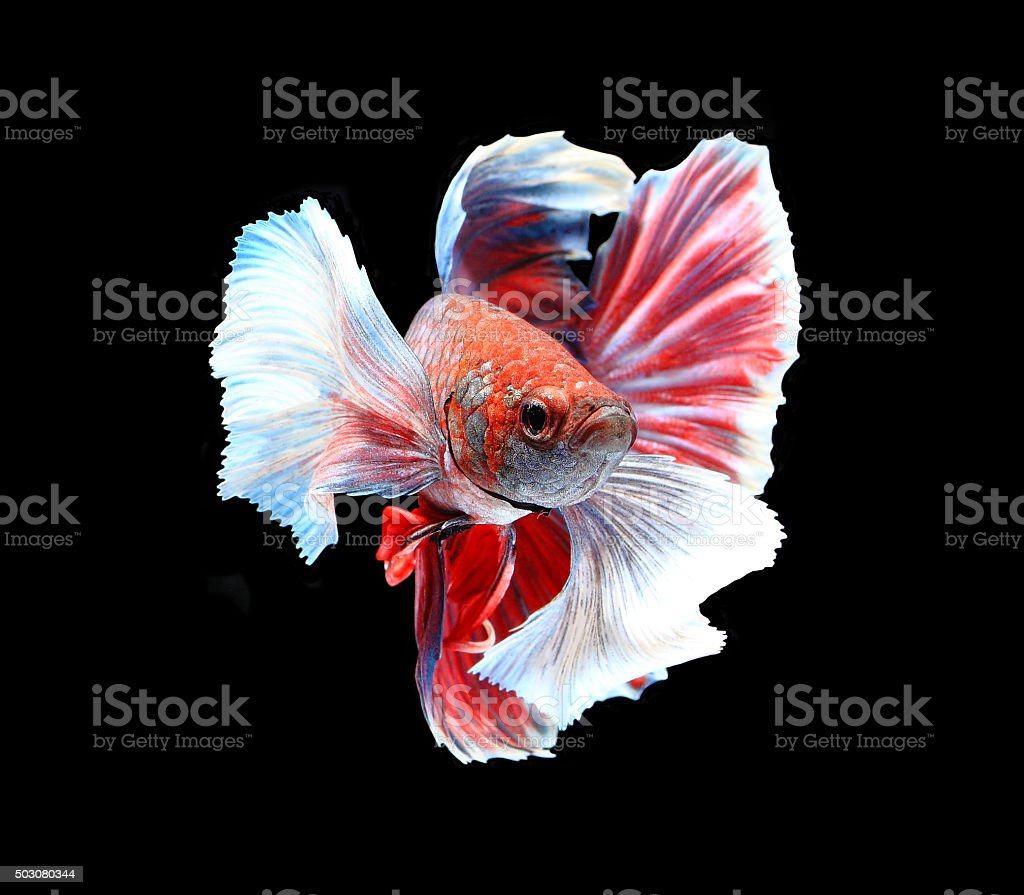 Red and white siamese fighting fish, betta fish isolated stock photo