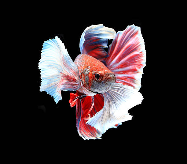 Red and white siamese fighting fish, betta fish isolated stock photo