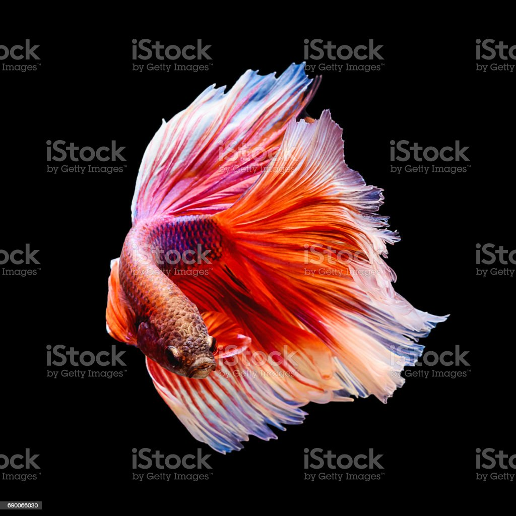 Red and white siamese fighting fish 'Half moon' shape isolated on black stock photo