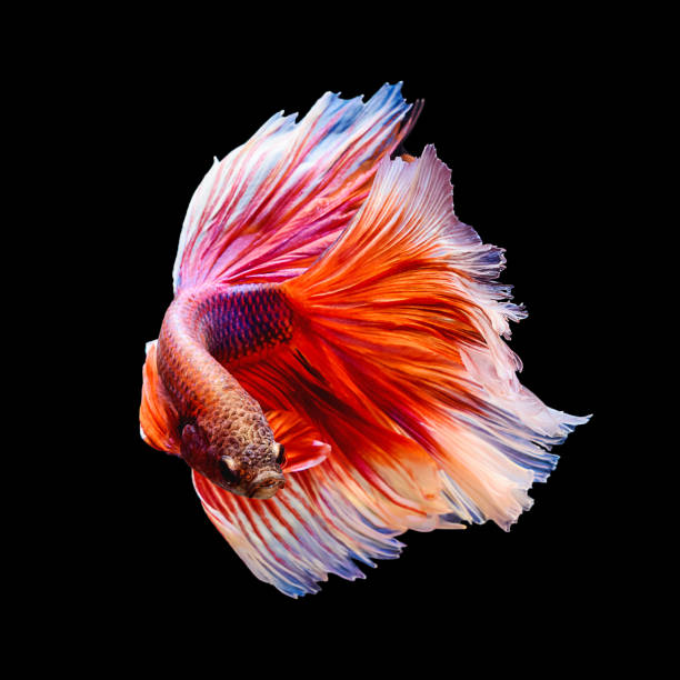Red and white siamese fighting fish
