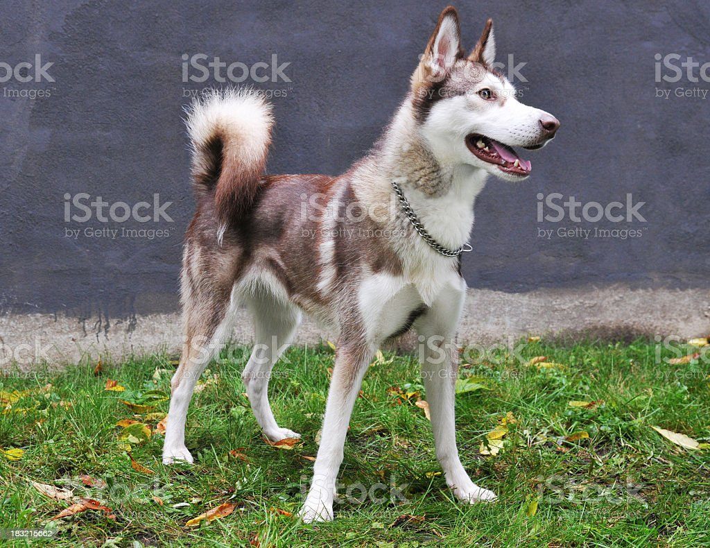 Red And White Siberian Husky Standing Stock Photo More Pictures Of