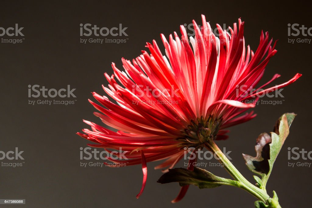Red and White Spider Mum, Side View stock photo