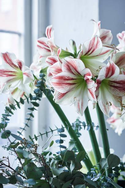amaryllis rayé rouge et blanc nommé ambiance - amaryllis photos et images de collection