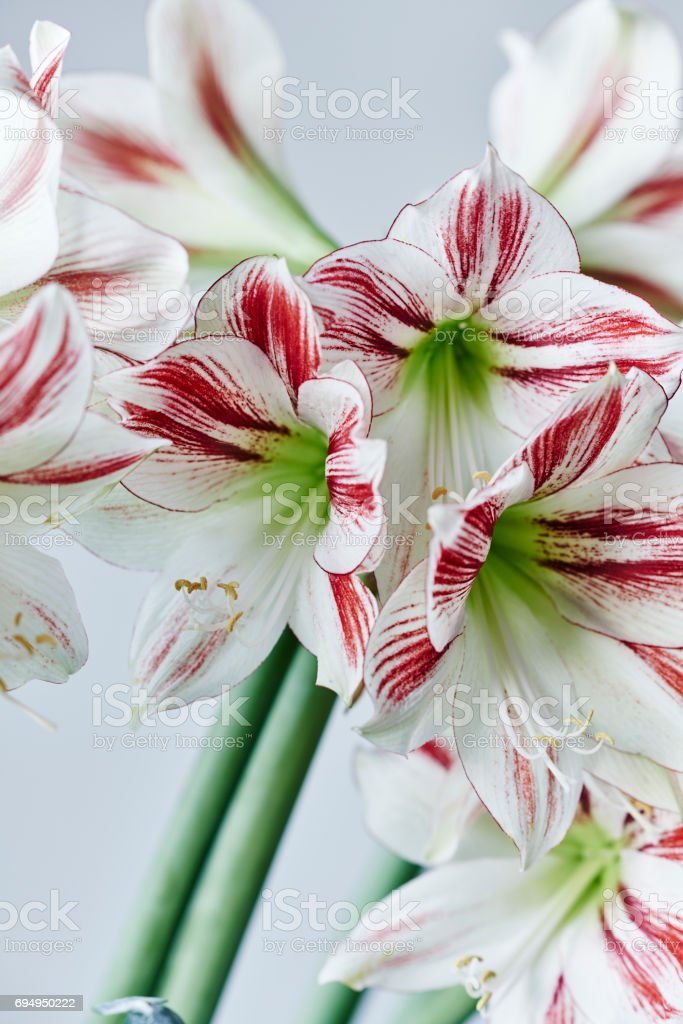 red and white striped amaryllis named ambiance stock photo