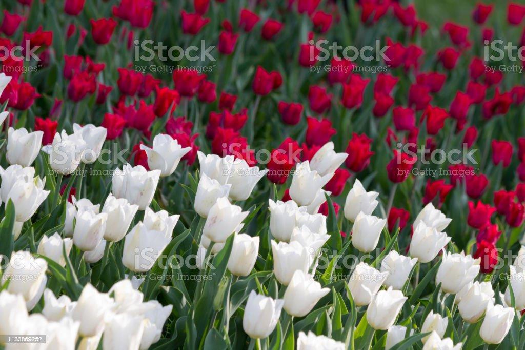Rode en witte tulpenveld in botanische tuin foto