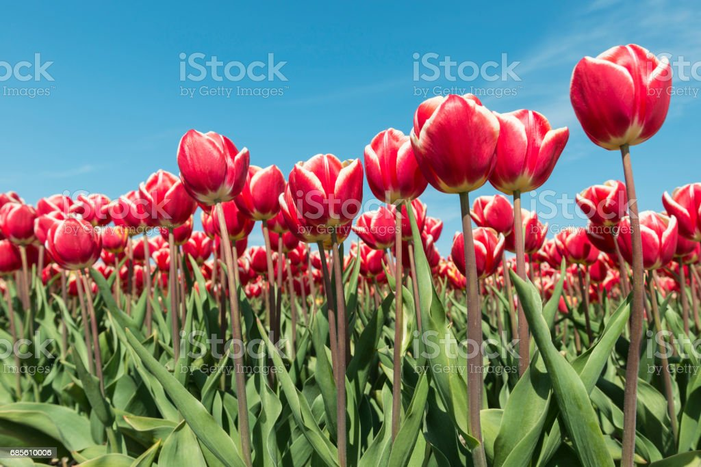 Red and white tulips field foto de stock royalty-free