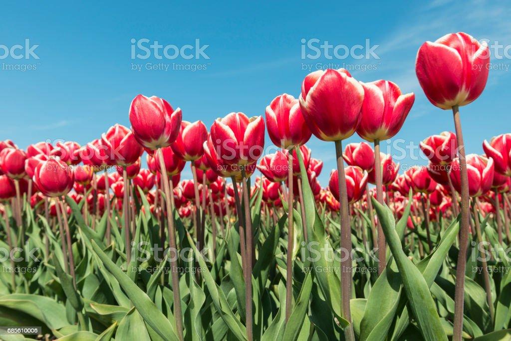 Rote und weiße Tulpen Feld Lizenzfreies stock-foto