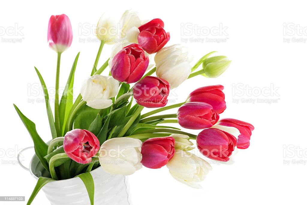 Red and white tulips royalty-free stock photo