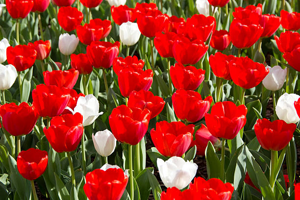 red and white tulips - spring stock photos and pictures