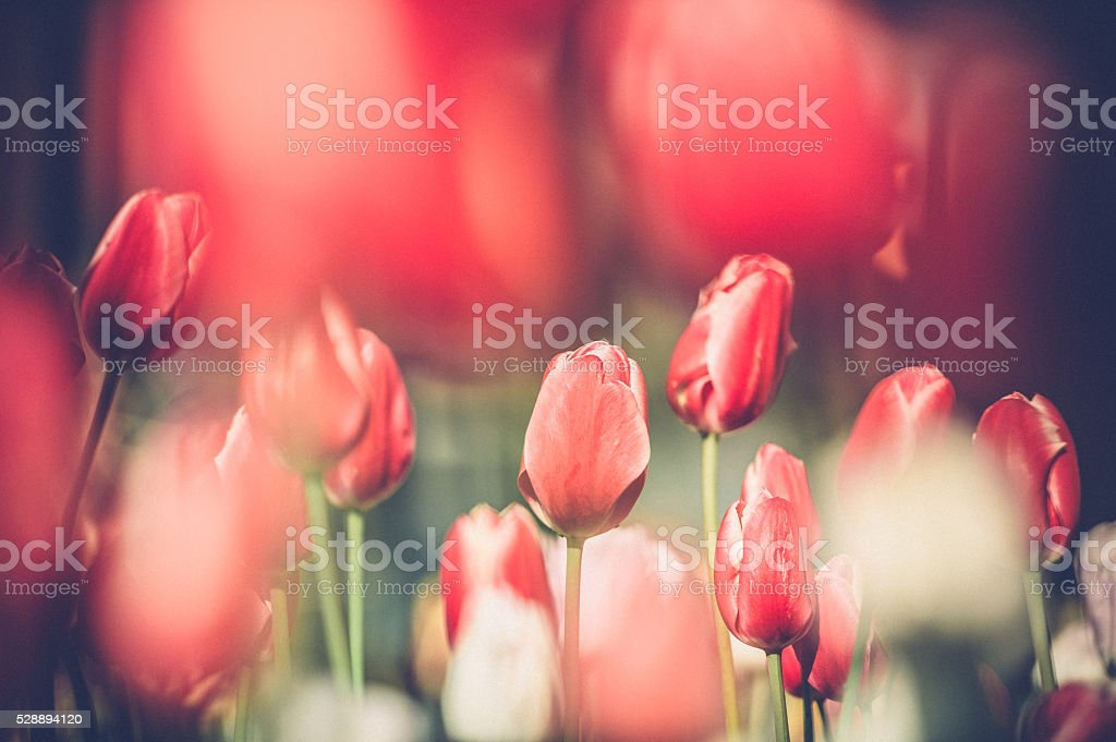 Red and white tulips stock photo