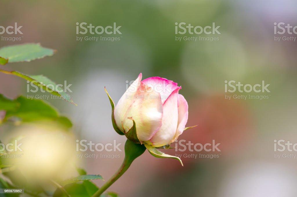 Rote und zwei weiße Farbe rose - Lizenzfrei Baumblüte Stock-Foto