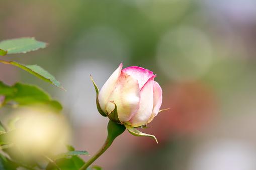 Rote Und Zwei Weiße Farbe Rose Stockfoto und mehr Bilder von Baumblüte