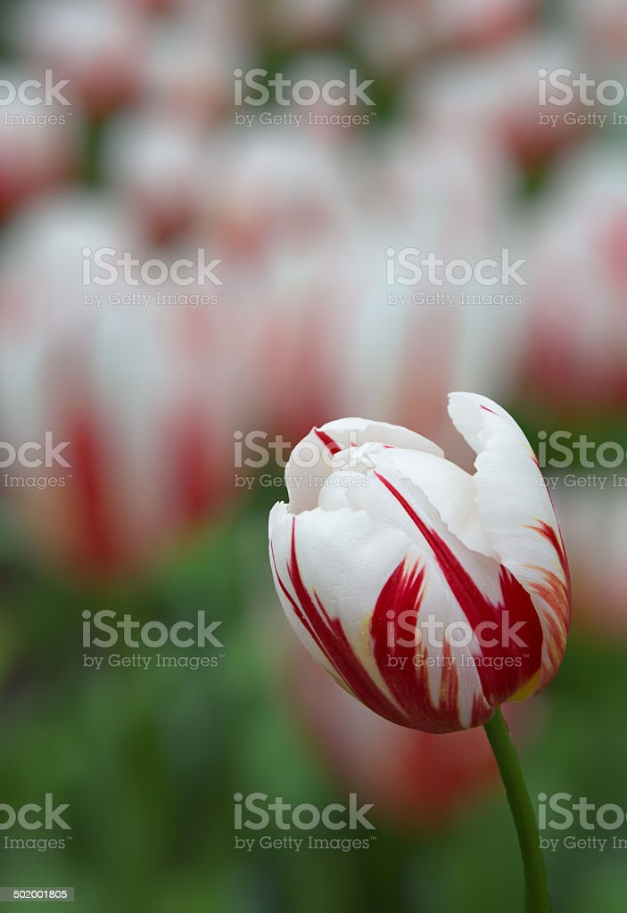Red and white varrigated tulip with blurred background stock photo