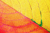 Photo of bright red and yellow autumn leaf. Macro photography. Flat lay