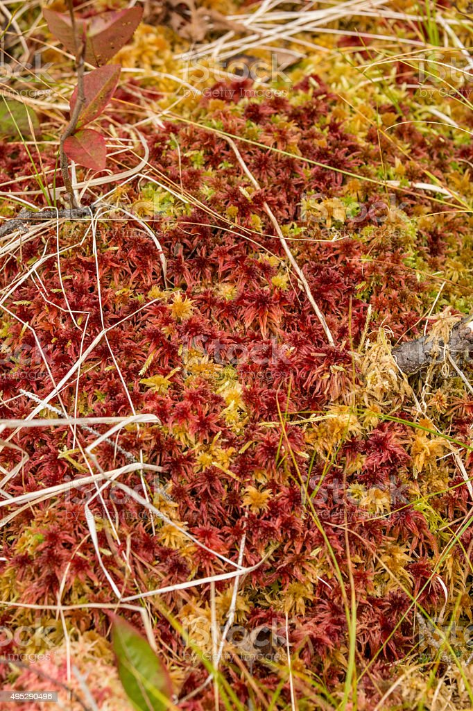 Red and yellow caps of Sphagnum peat moss in Maine. stock photo