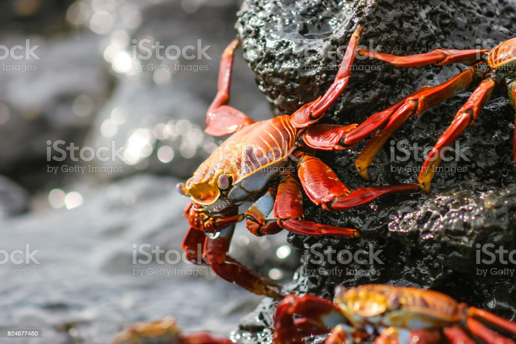 A red and yellow crab walks along some wet rocks stock photo