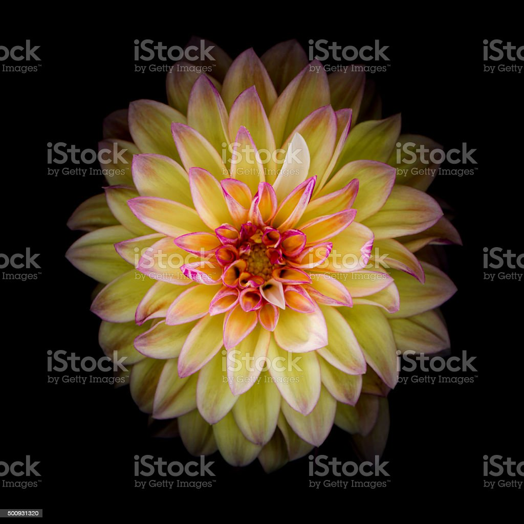 Red and yellow dahlia isolated on black stock photo