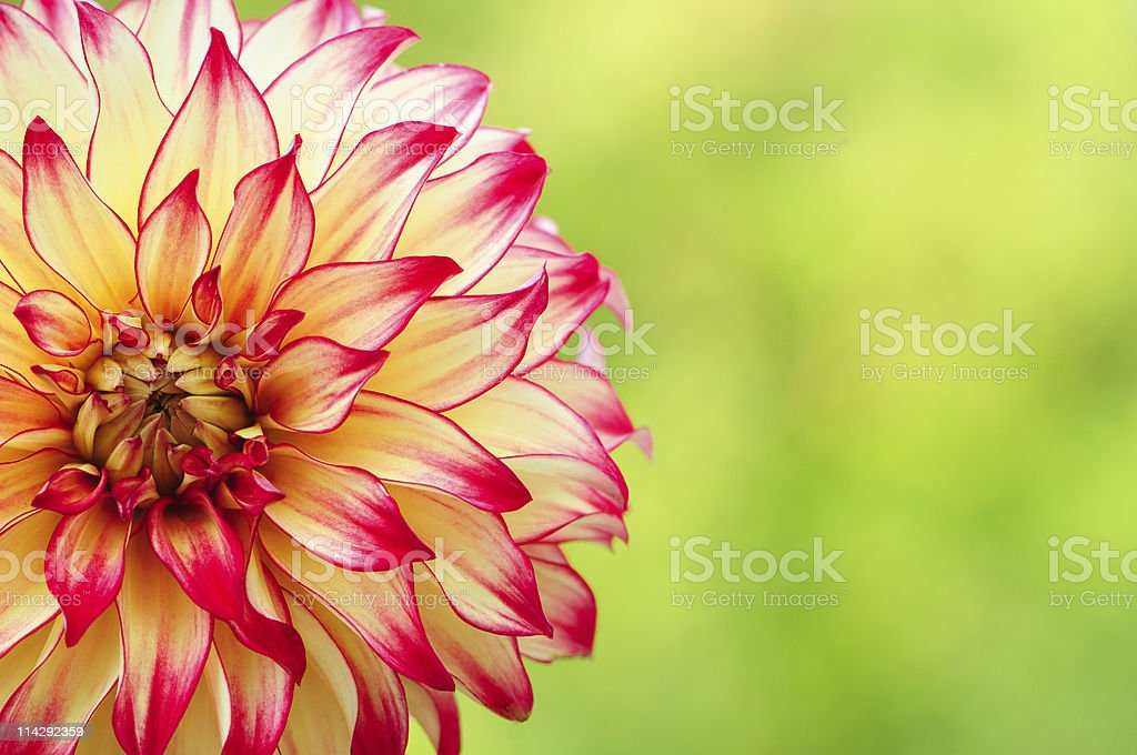 Red and Yellow Dahlia stock photo