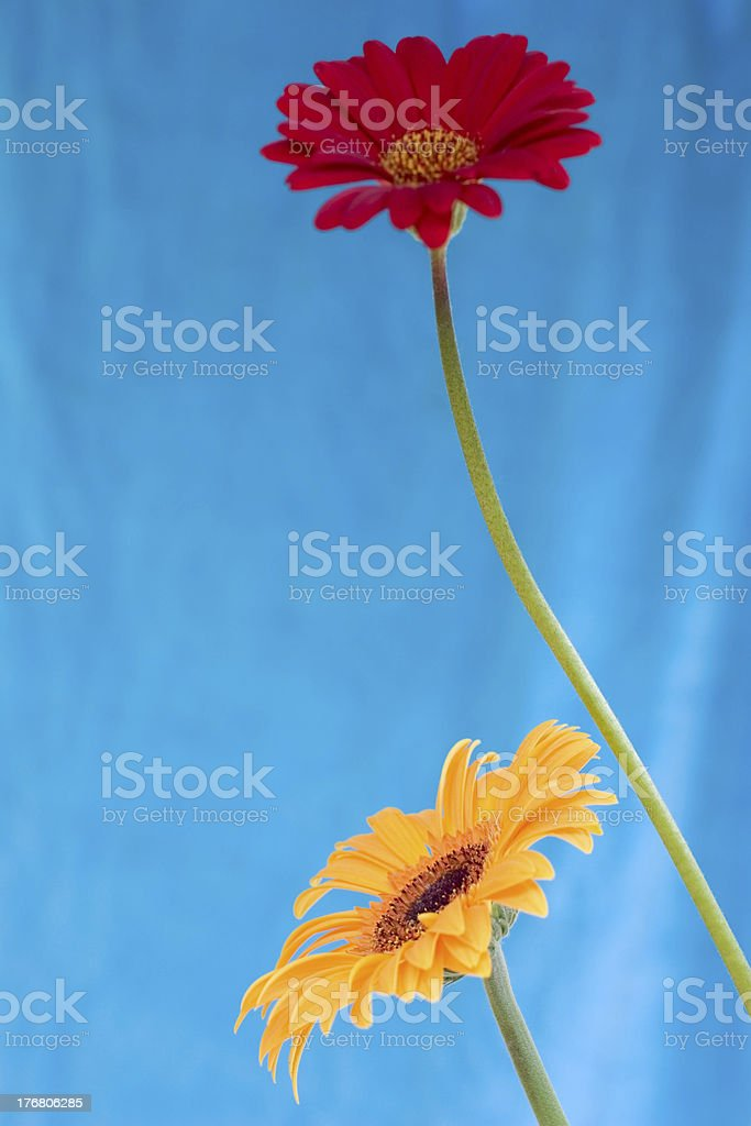 Red and Yellow Daisies stock photo