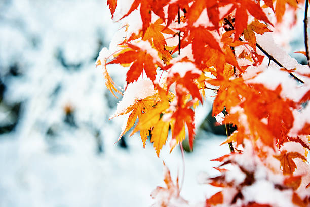 red and yellow fall maple tree covered in snow - laub winter stock-fotos und bilder
