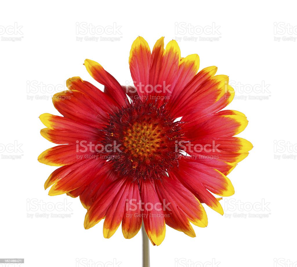 Red and yellow flower of a Gaillardia on white stock photo