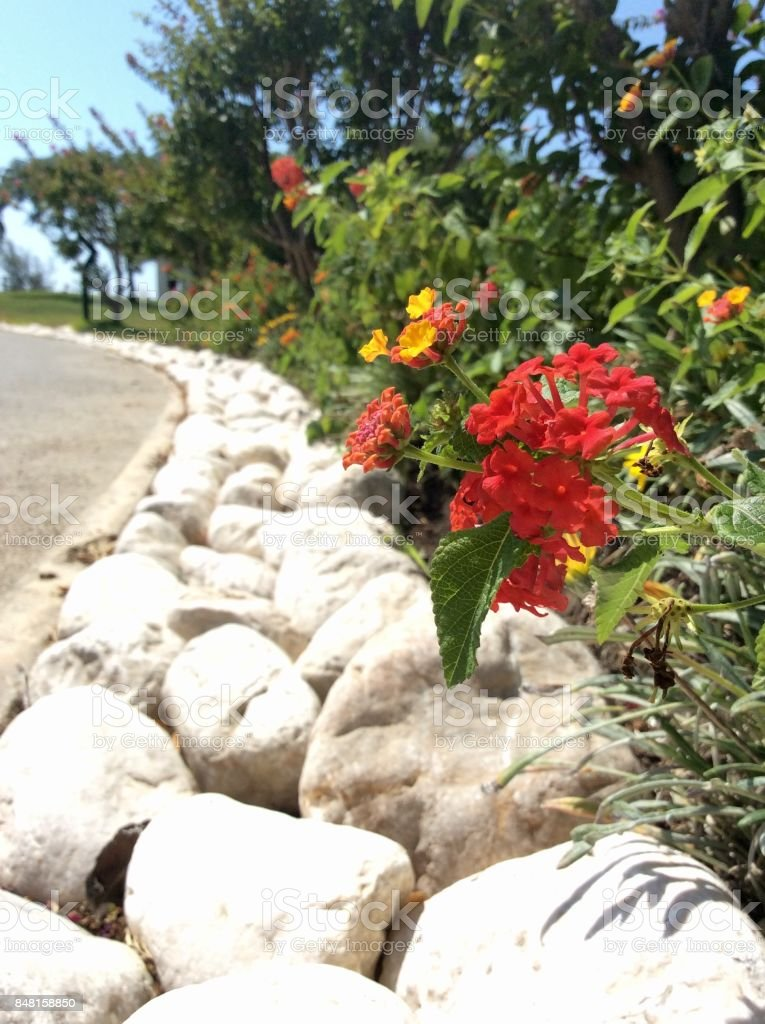 Red and yellow flowers on a background of white stones stock photo