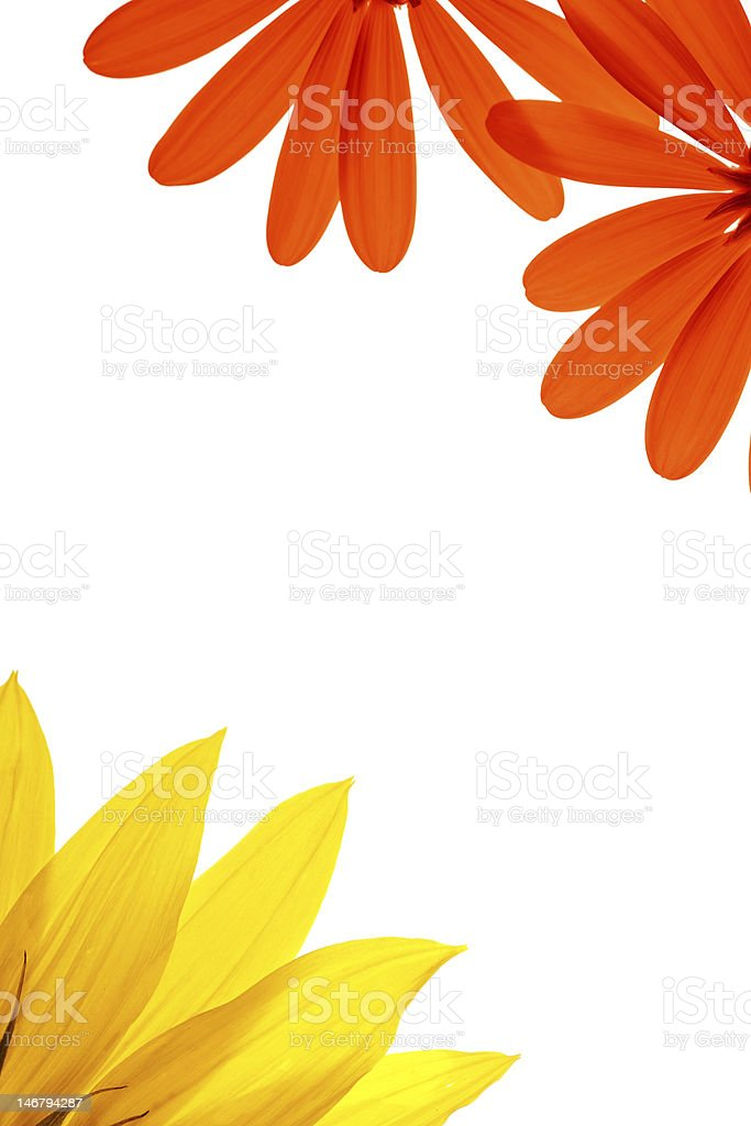 Red and yellow flowers on white royalty-free stock photo
