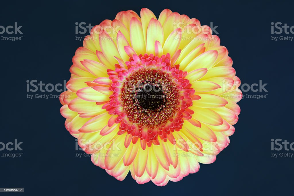 Red and yellow gerbera daisy blossom isolated on dark blue background, focus stacking, close up. stock photo