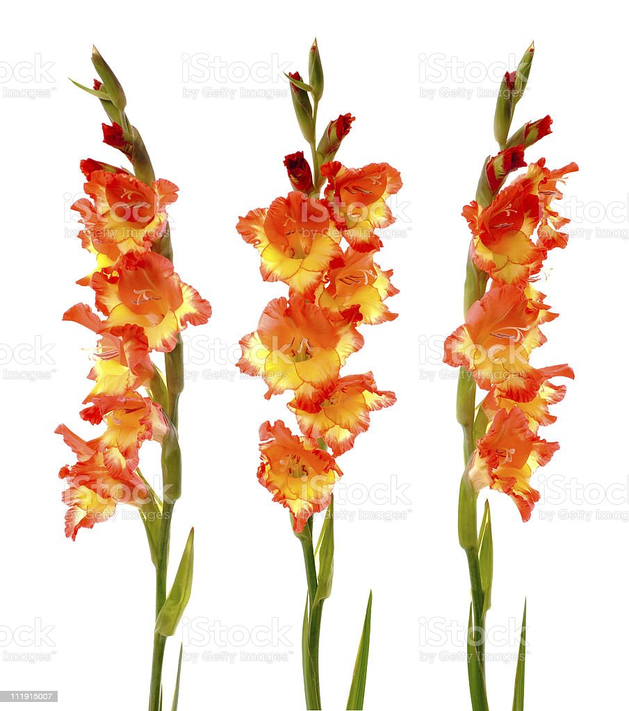 Red and yellow gladiolus royalty-free stock photo