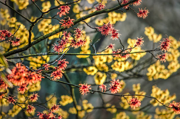 Red and yellow hamamelis Branches and twigs of a hamalis or witch hazel, with a yellow specimen blurred in the background on a sunny day in January saxifragales stock pictures, royalty-free photos & images