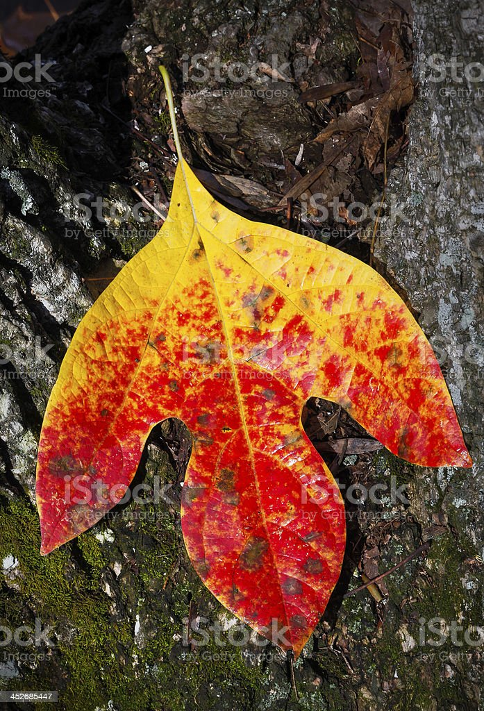 Red and Yellow Leaf stock photo
