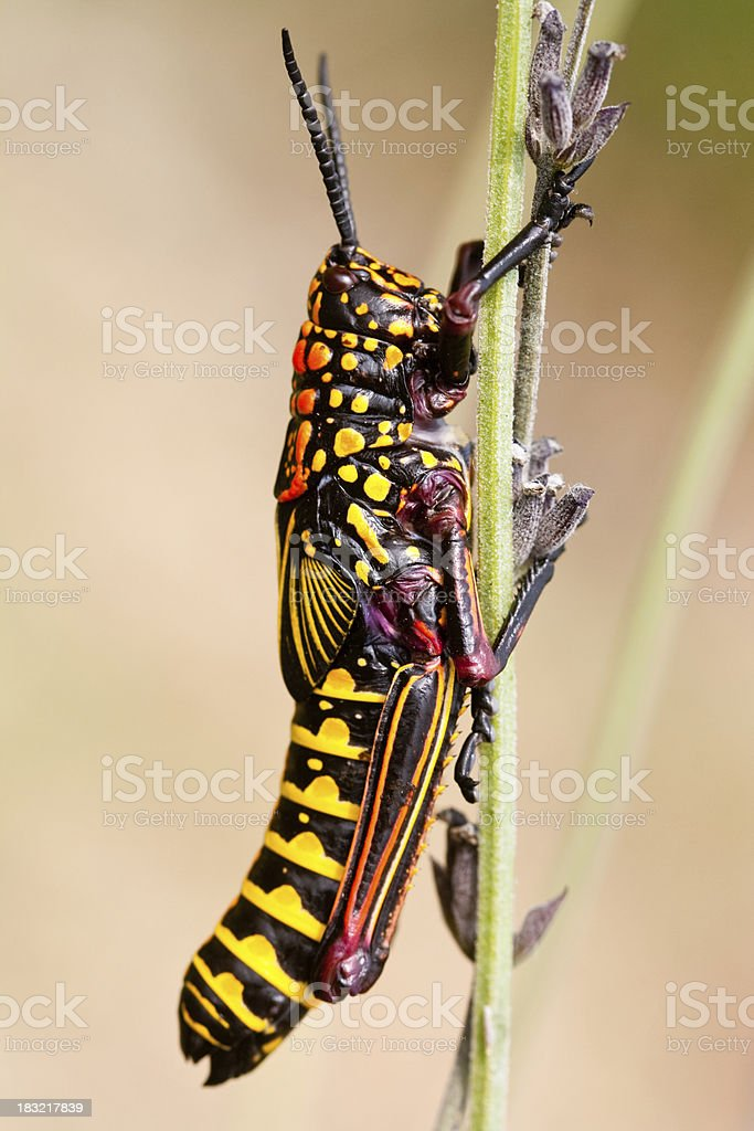 Red and yellow locust royalty-free stock photo
