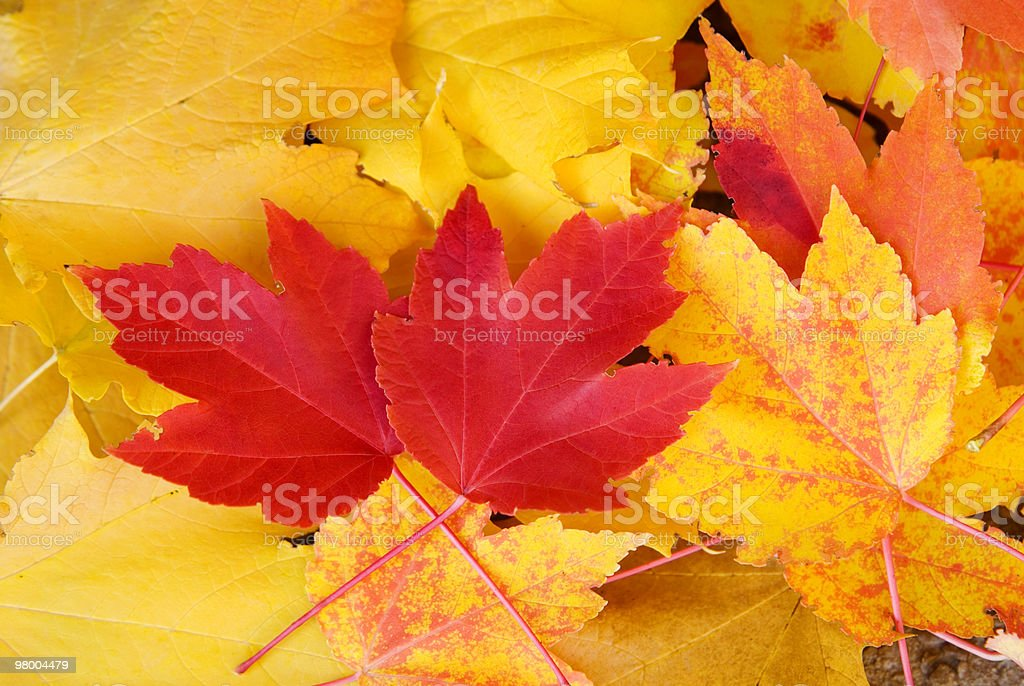 Red and Yellow Maple Leaves Fall Background royalty-free stock photo