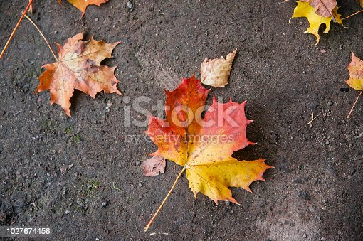 istock red and yellow maple leaves lie on the asphalt in flat lay 1027674456
