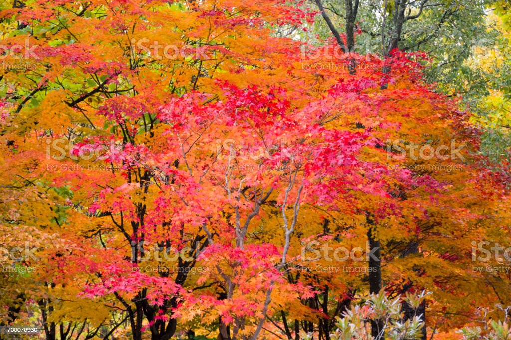 Red and yellow maple leaves stock photo