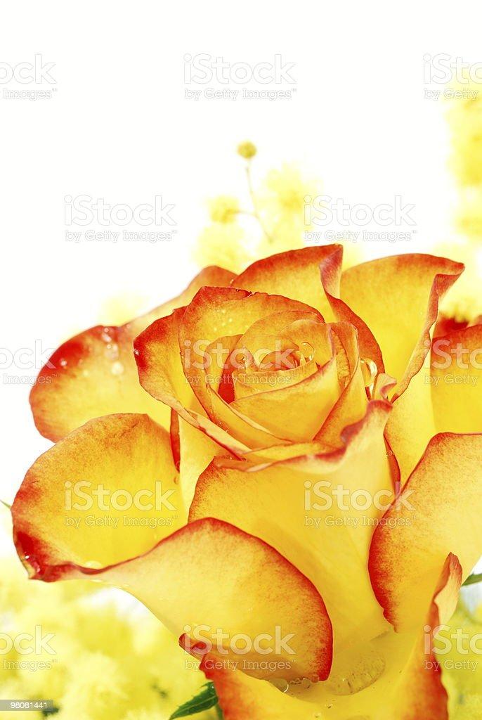 Primo piano di rosa rossa e gialla foto stock royalty-free