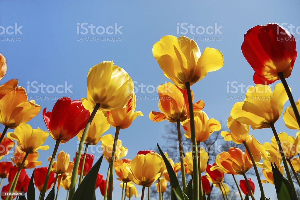 Red and yellow spring tulips reaching up to sky royalty-free stock photo
