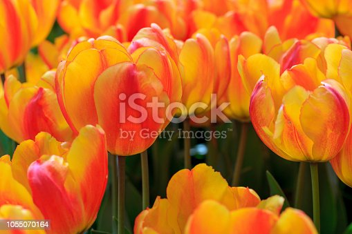 Red and yellow tulip flowers