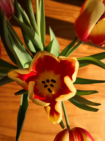 Red and yellow tulip flowers with green leaves, wooden background