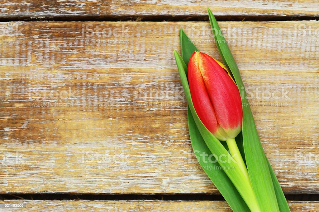 Red and yellow tulip on wooden surface with copy space photo libre de droits